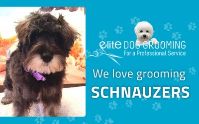 We love grooming schnauzers